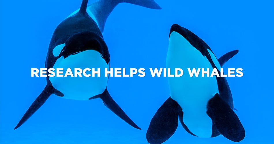 Research Helps Wild Whales