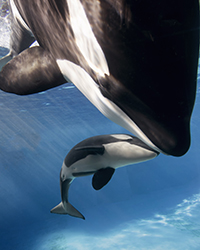 Mom-and-baby-killer-whale