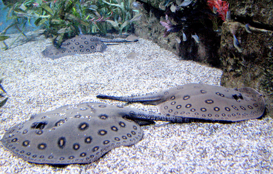 Ocellate River Ray