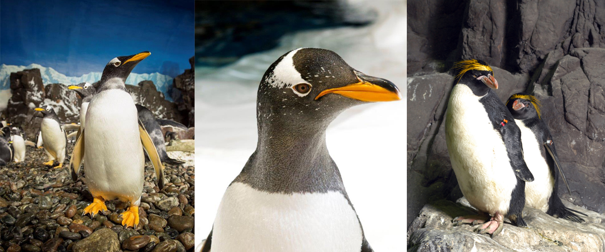 rock day signals exciting times for seaworld s penguins